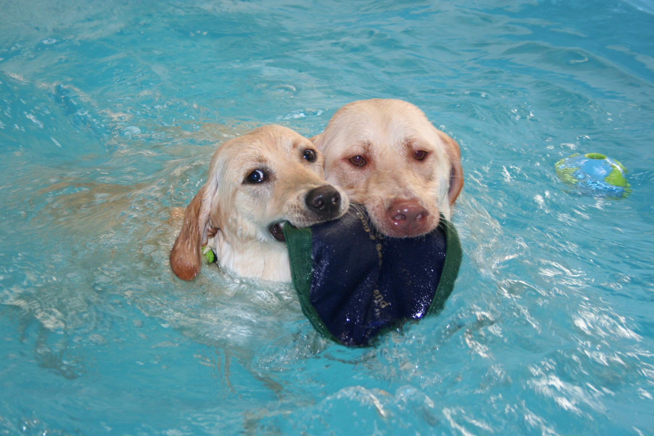 Small Swimming Dog Breeds