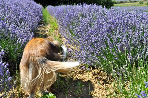 In the Lavender fields by Sault. Photo Courtesy of www.OIC-Books.com