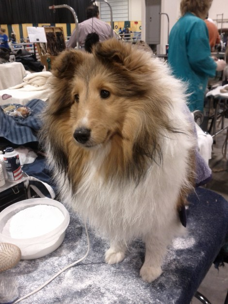 A Sheltie being groomed!