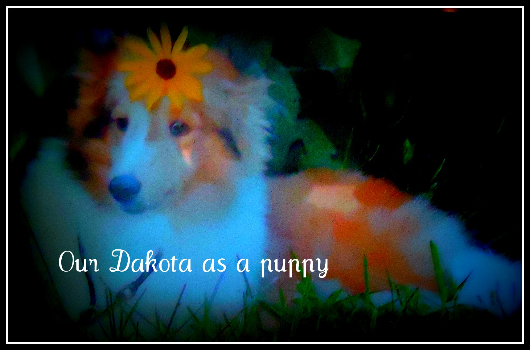 this was the first photo we were given of Dakota from his breeder, Shelia Ellis, before we had met him